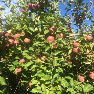 McIntosh apples on the tree